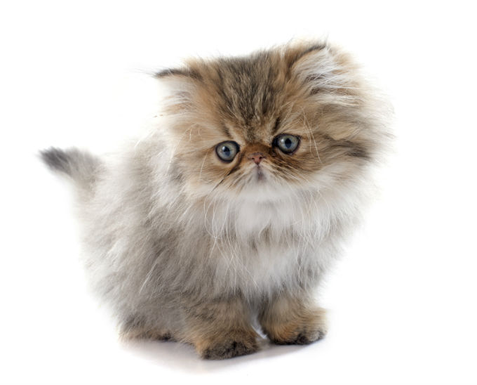 Images of Persian Cat | 680x548