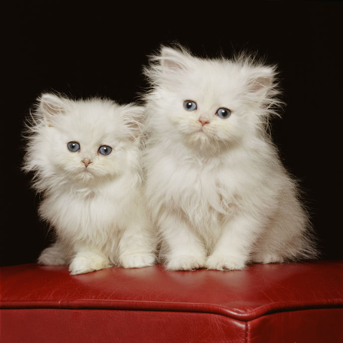 HD Quality Wallpaper | Collection: Animal, 680x680 Persian Cat