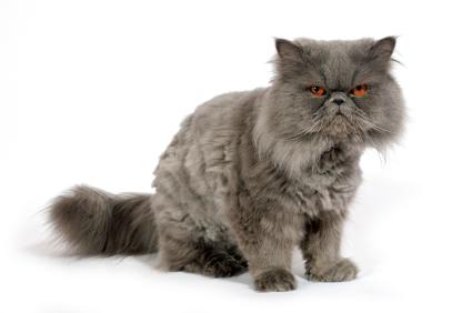 Persian Cat Backgrounds, Compatible - PC, Mobile, Gadgets| 425x282 px