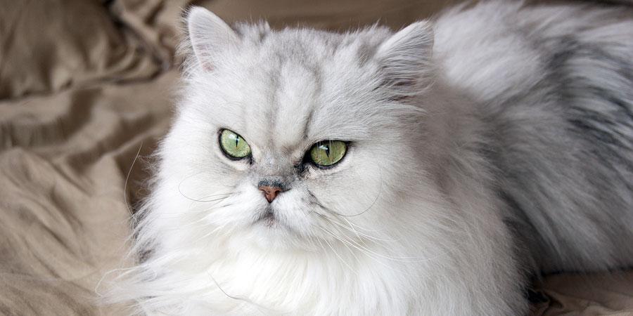 HQ Persian Cat Wallpapers | File 65.31Kb