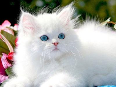 HQ Persian Cat Wallpapers | File 22.62Kb