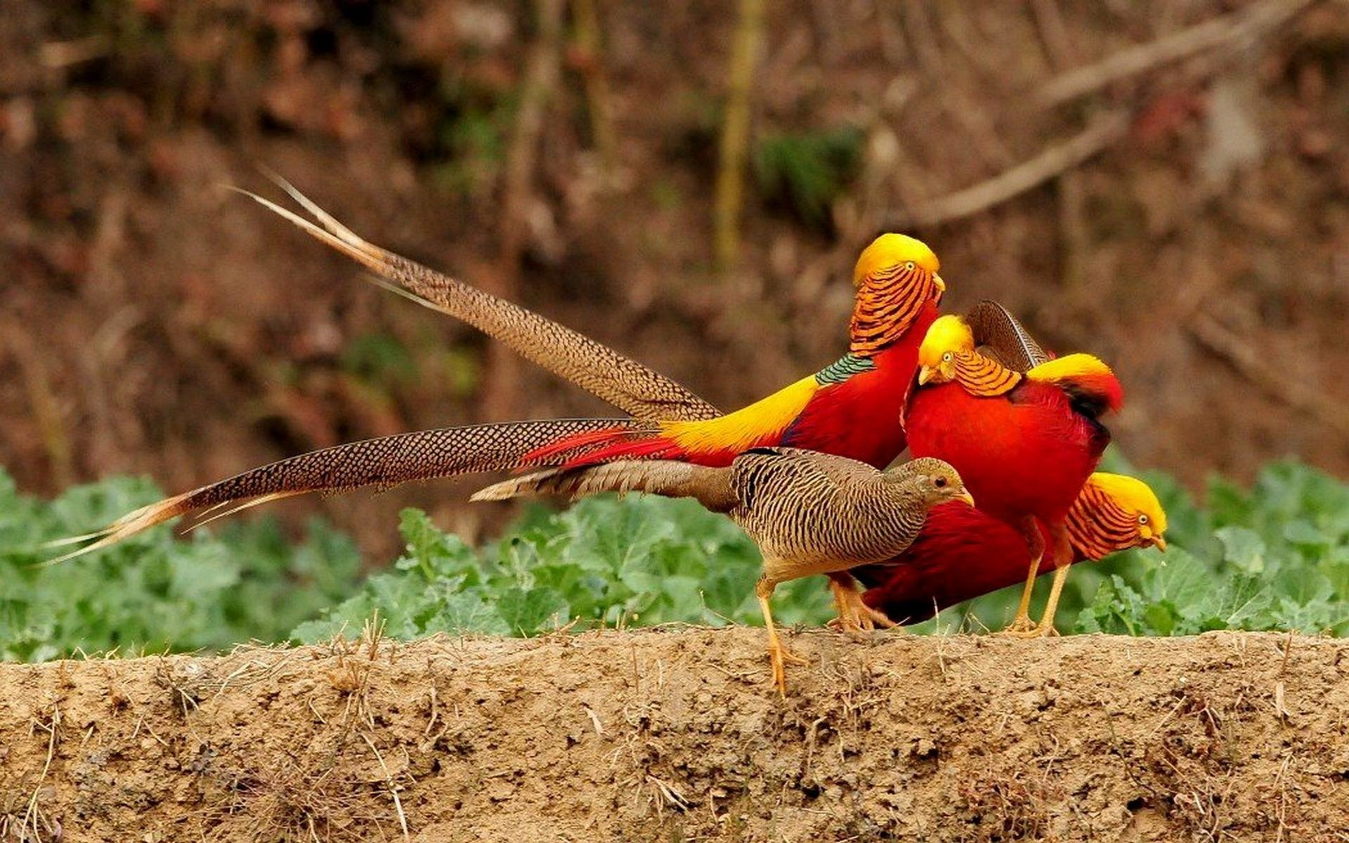 Nice wallpapers Pheasant 1920x1200px
