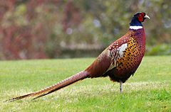Nice Images Collection: Pheasant Desktop Wallpapers