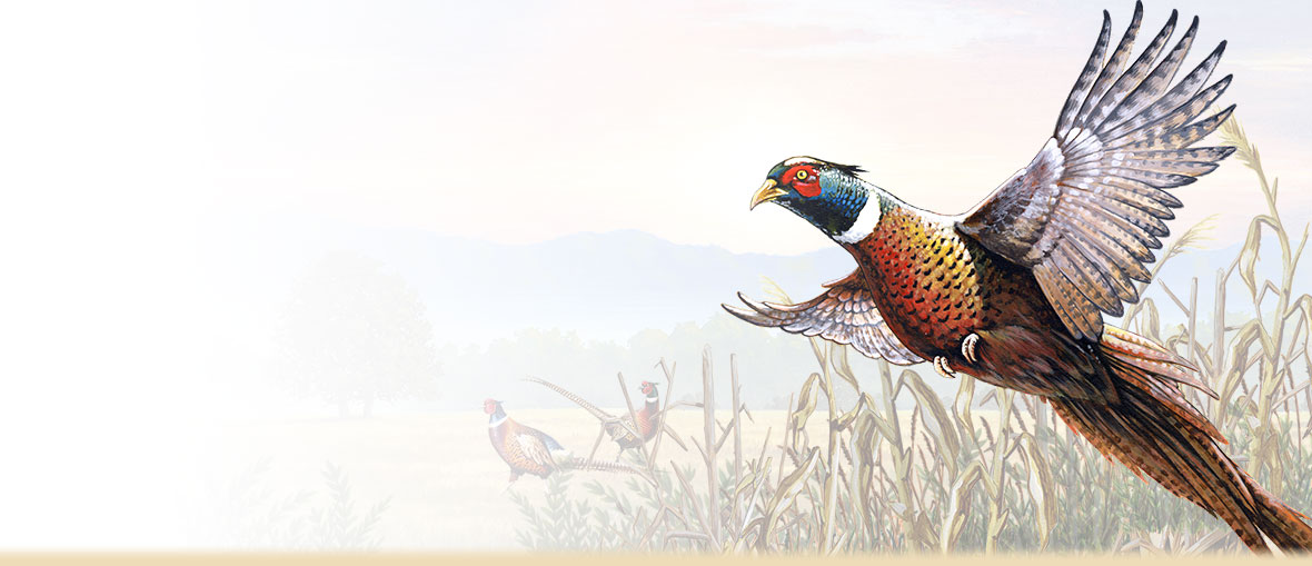 Amazing Pheasant Pictures & Backgrounds