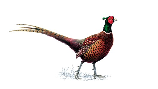 Pheasant High Quality Background on Wallpapers Vista