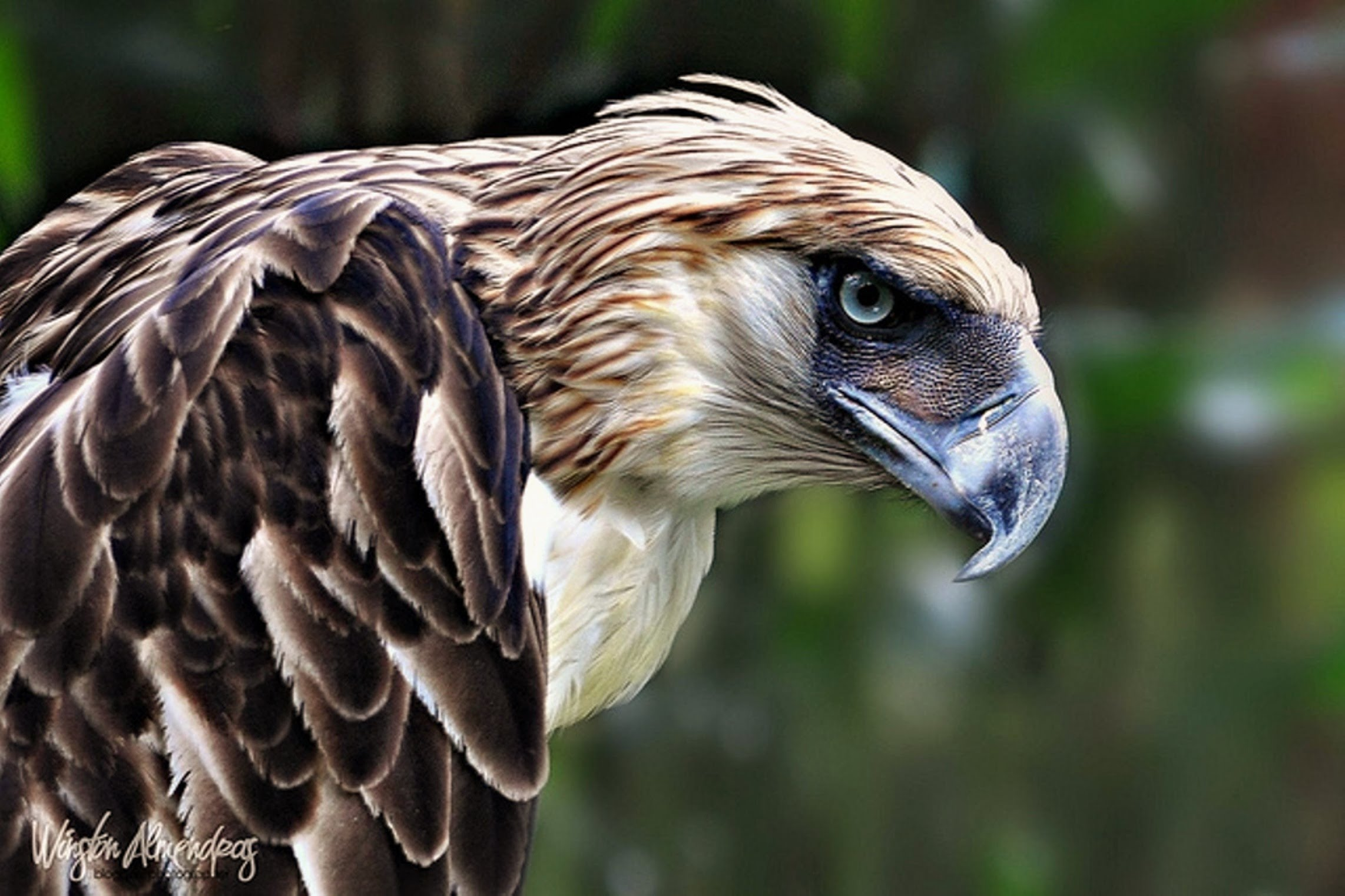 Philippine Eagle Backgrounds on Wallpapers Vista