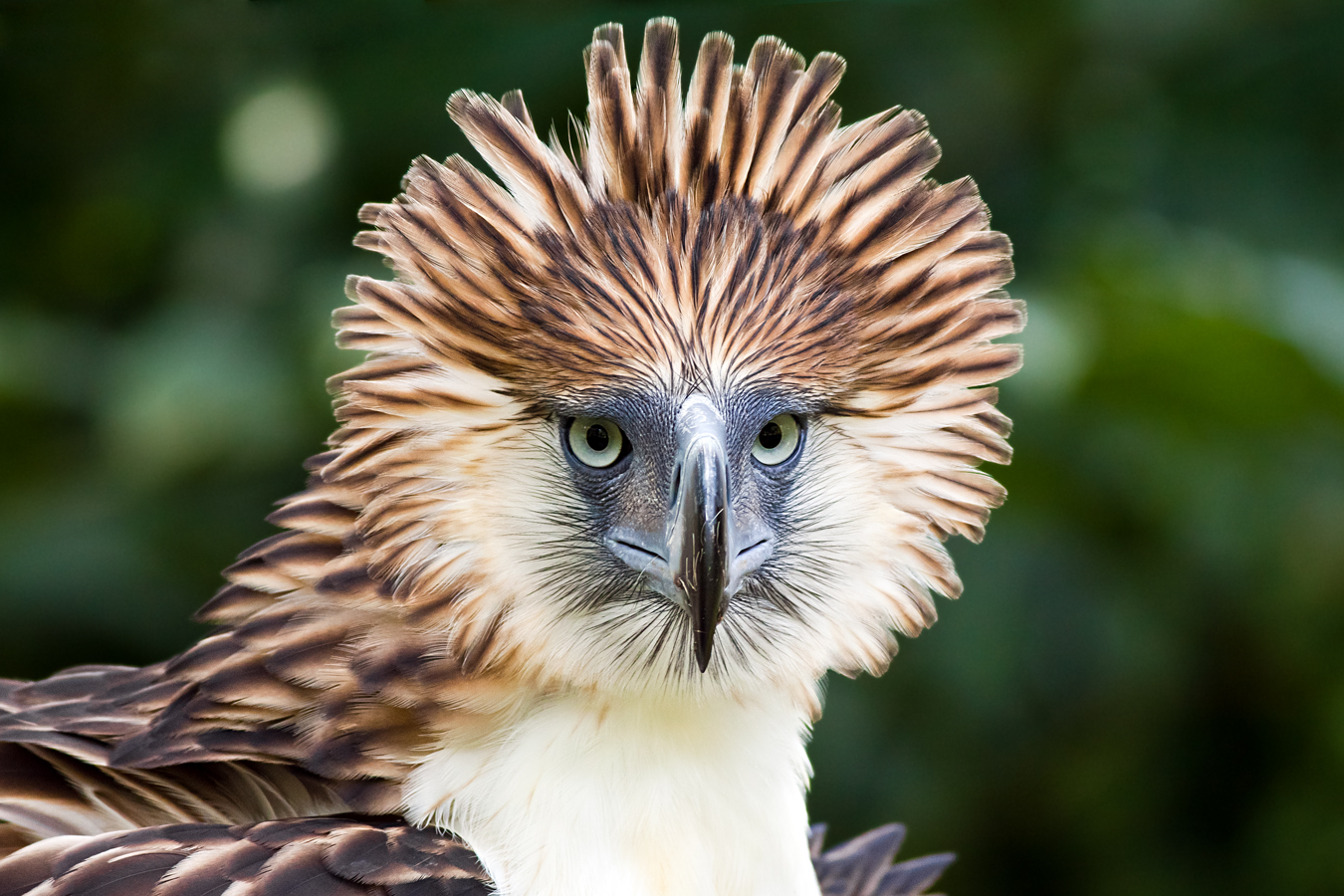 Philippine Eagle Pics, Animal Collection