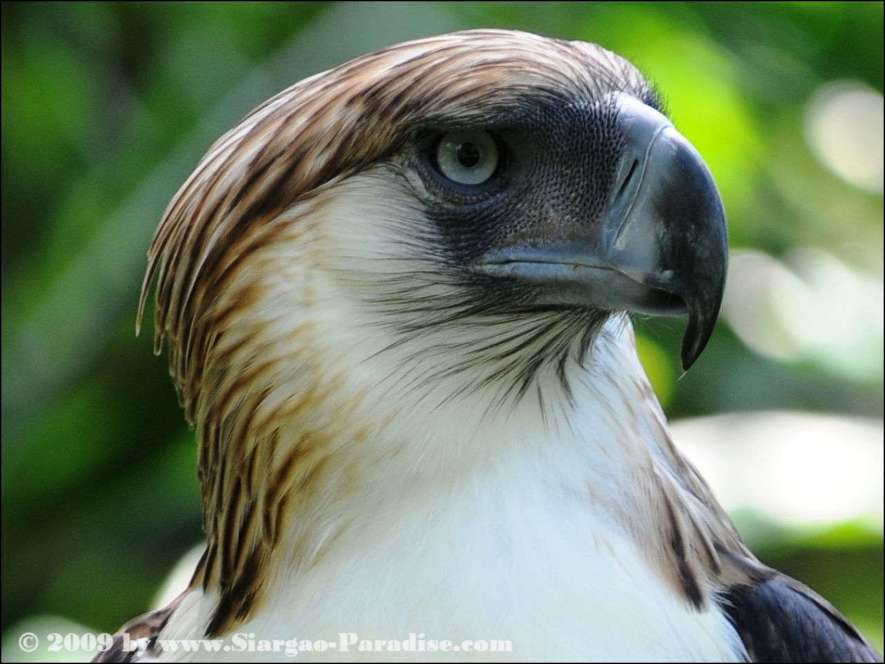 Philippine Eagle Backgrounds, Compatible - PC, Mobile, Gadgets| 1280x960 px