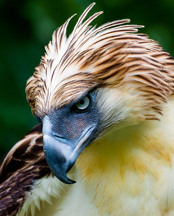 HQ Philippine Eagle Wallpapers | File 82.23Kb