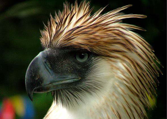 HQ Philippine Eagle Wallpapers | File 42.13Kb