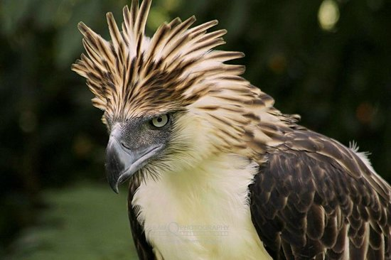 HD Quality Wallpaper | Collection: Animal, 550x366 Philippine Eagle