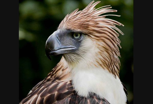 HD Quality Wallpaper | Collection: Animal, 600x410 Philippine Eagle
