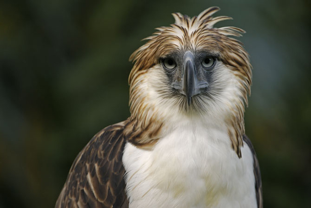 HQ Philippine Eagle Wallpapers | File 117.93Kb