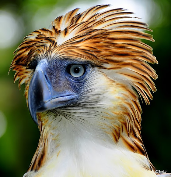 HQ Philippine Eagle Wallpapers | File 110.55Kb