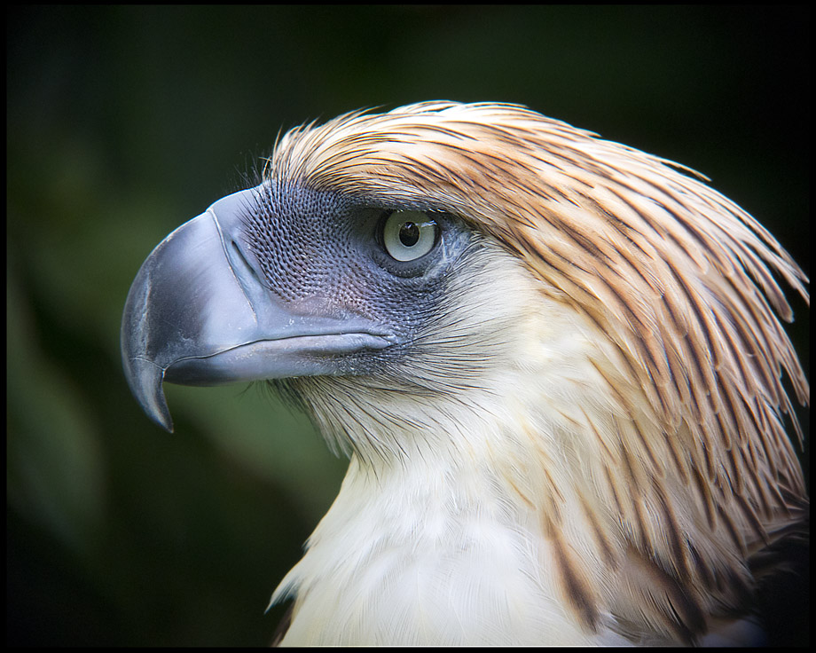 HD Quality Wallpaper | Collection: Animal, 920x736 Philippine Eagle
