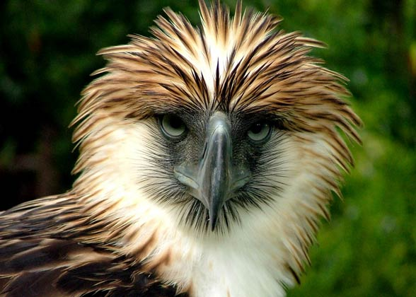 Amazing Philippine Eagle Pictures & Backgrounds