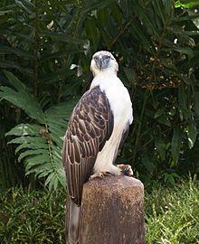 Images of Philippine Eagle | 220x270