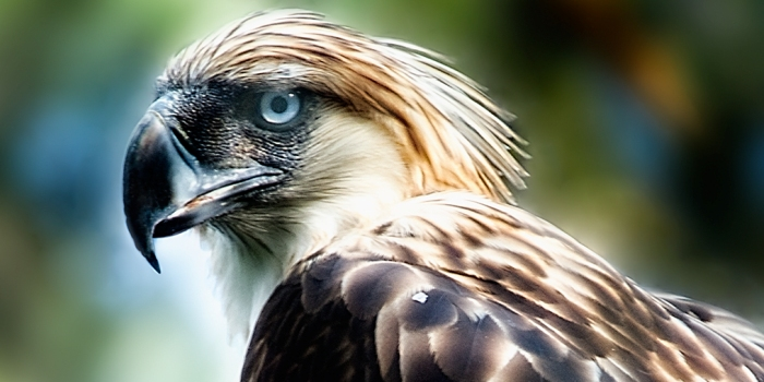HQ Philippine Eagle Wallpapers | File 159.14Kb