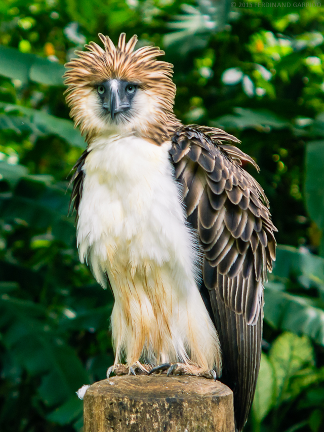 640x853 > Philippine Eagle Wallpapers