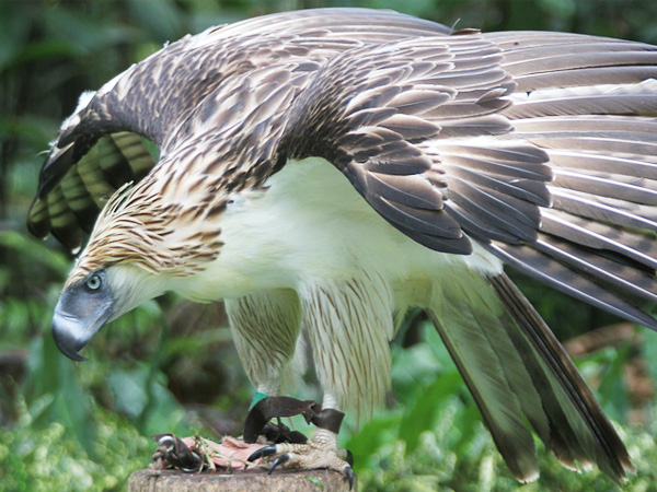 Images of Philippine Eagle | 600x450
