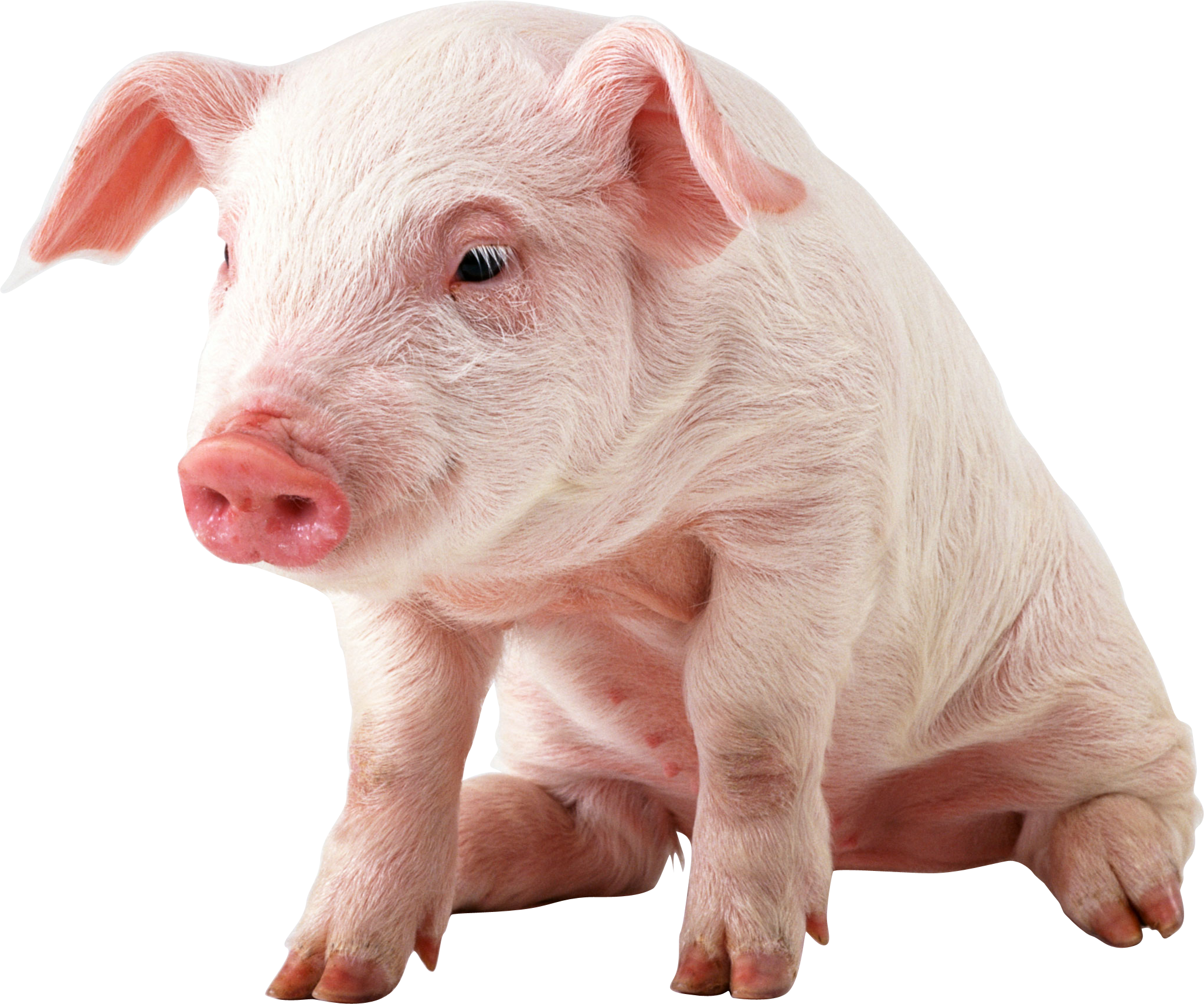 Pig Backgrounds on Wallpapers Vista