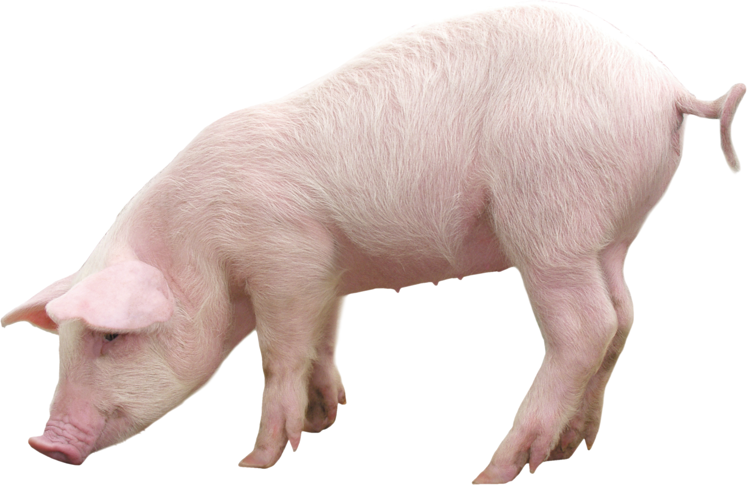 Pig Backgrounds, Compatible - PC, Mobile, Gadgets| 2830x1838 px