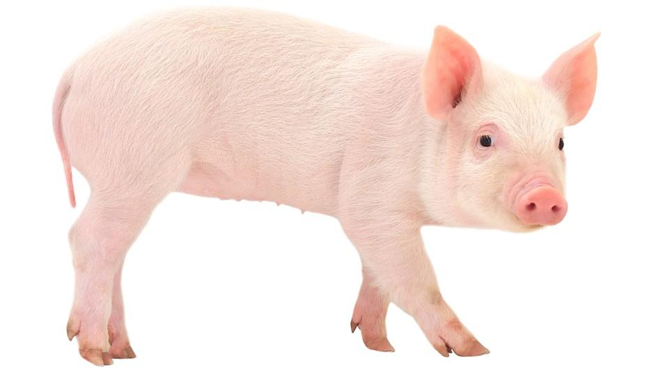 HD Quality Wallpaper | Collection: Animal, 945x531 Pig