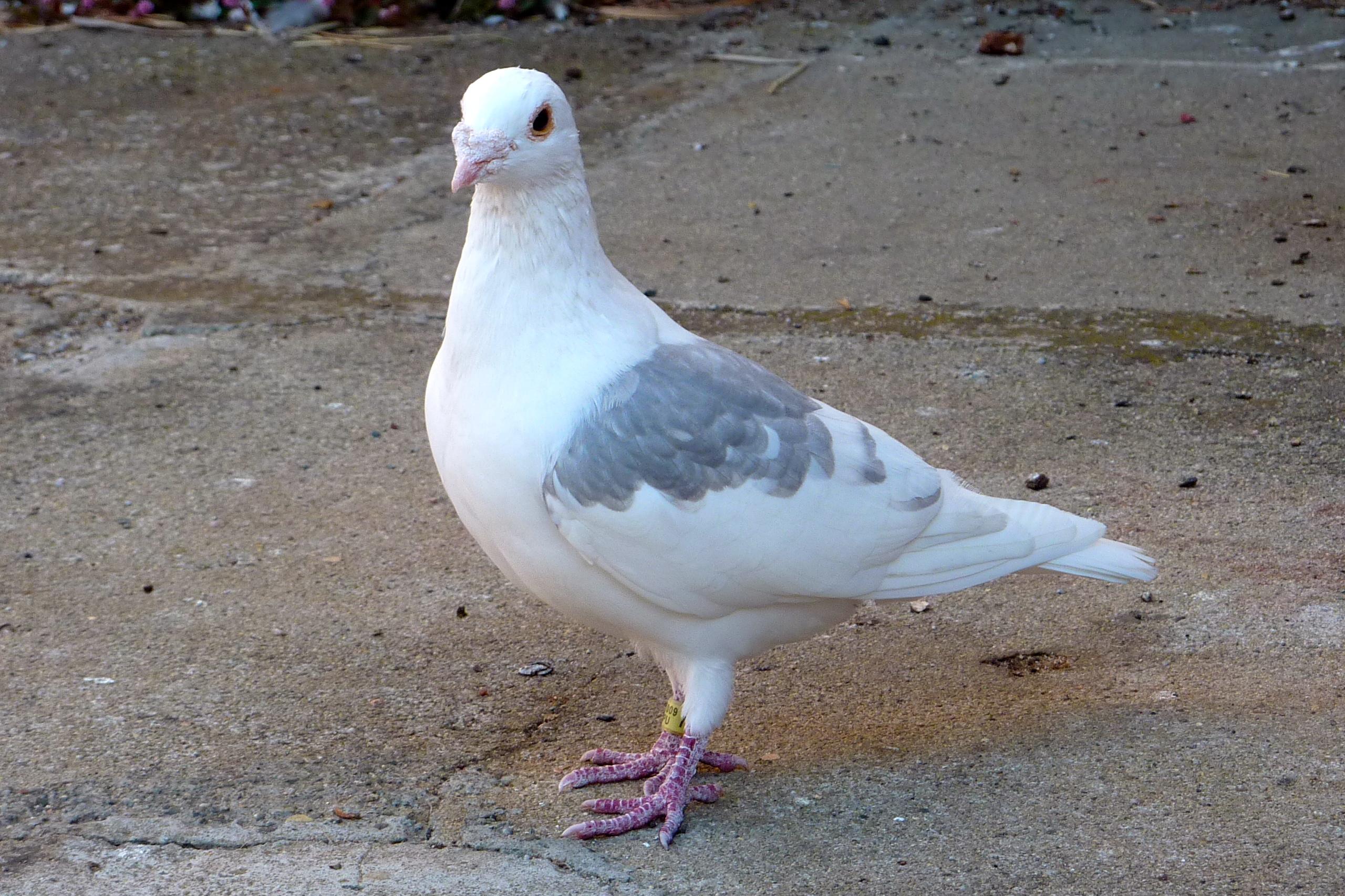 2560x1706 > Pigeon Wallpapers