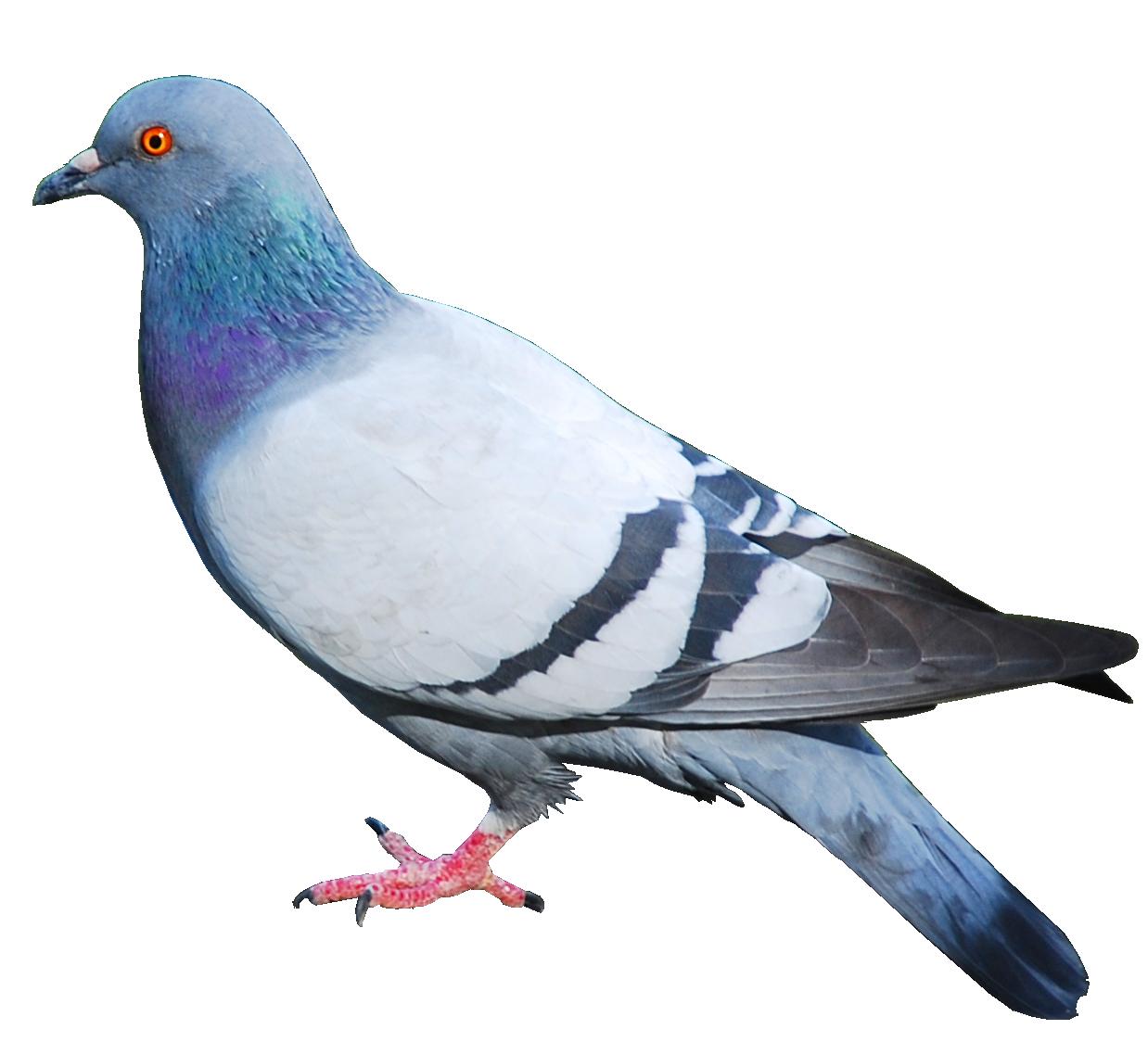 1238x1138 > Pigeon Wallpapers