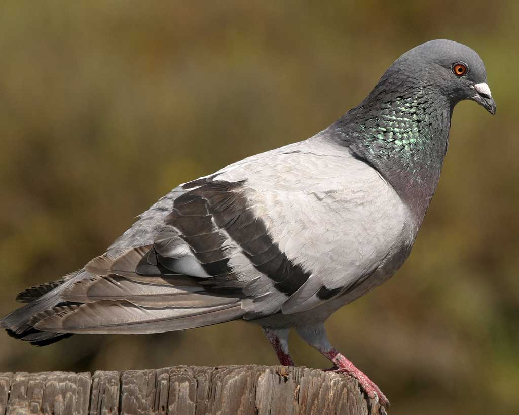 Images of Pigeon | 1024x820