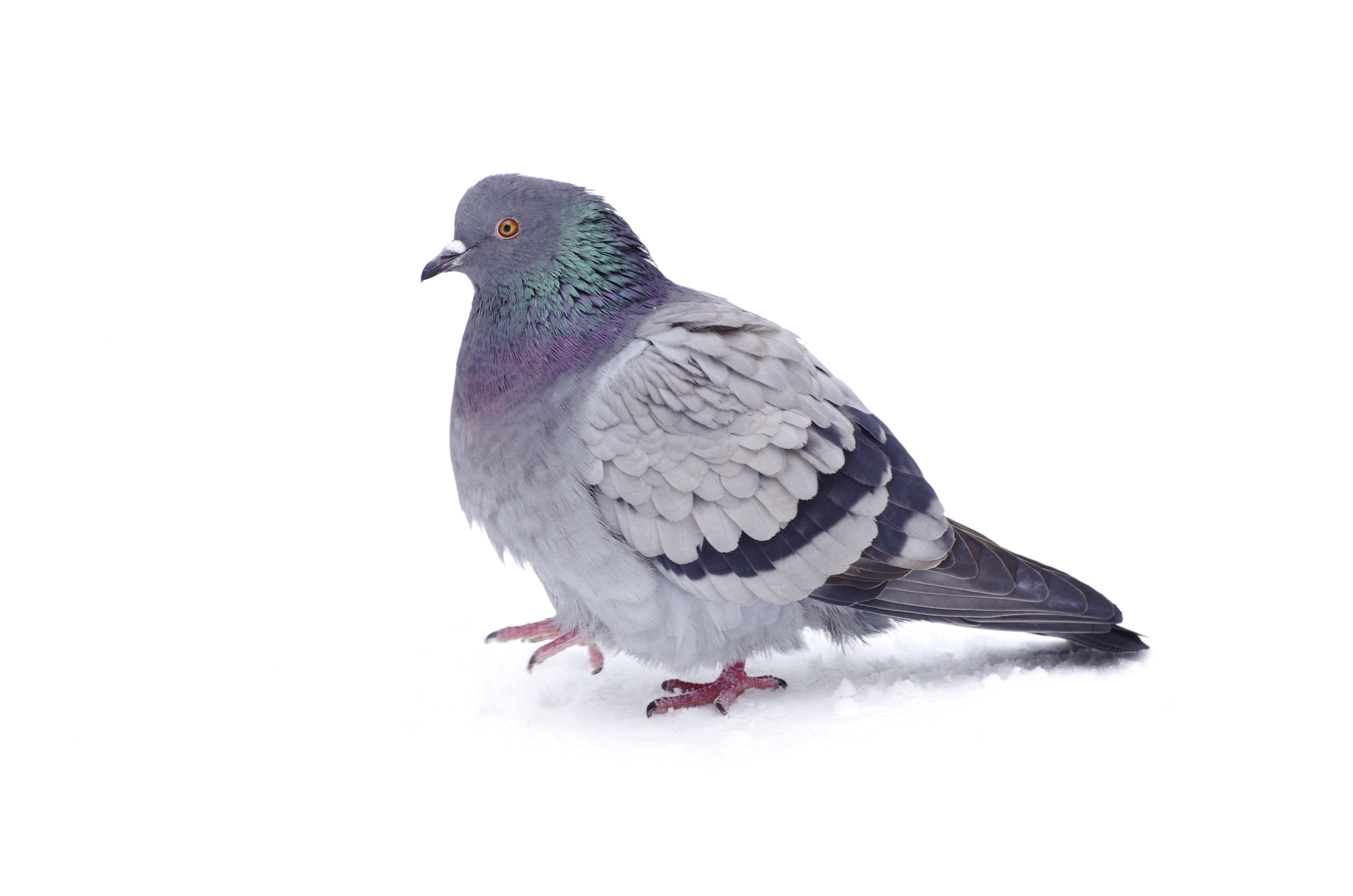Nice wallpapers Pigeon 4928x3264px