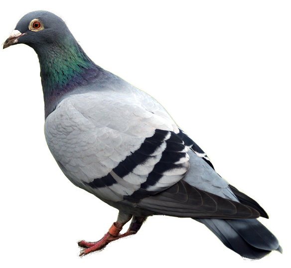 HQ Pigeon Wallpapers | File 432.54Kb