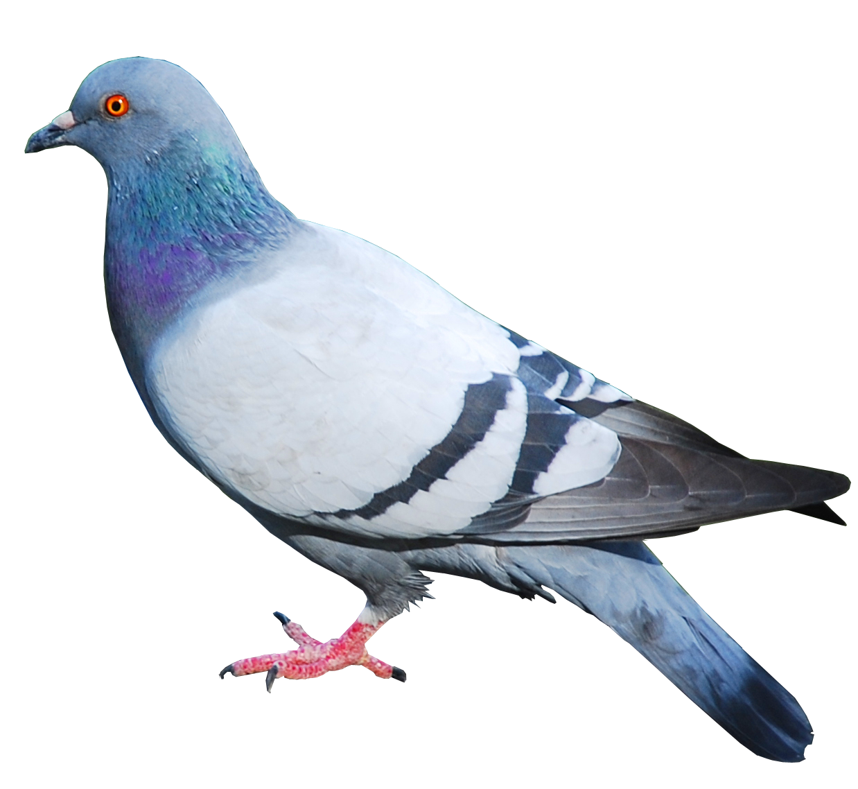 HQ Pigeon Wallpapers | File 705.38Kb