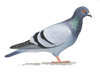 Nice wallpapers Pigeon 386x292px