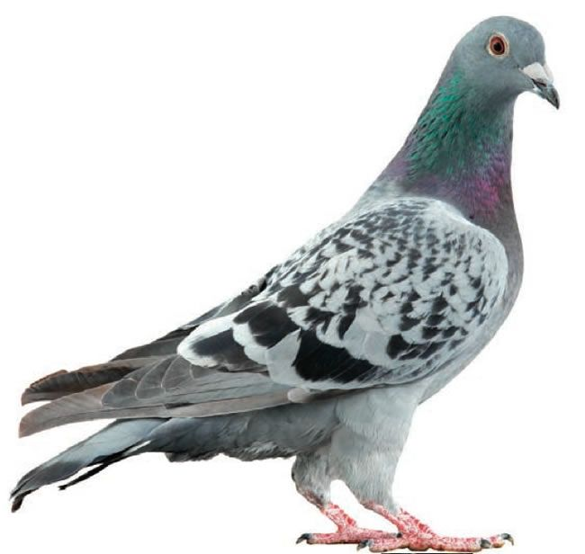 Pigeon Backgrounds on Wallpapers Vista