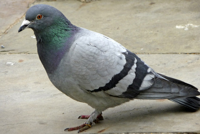 Images of Pigeon | 640x429