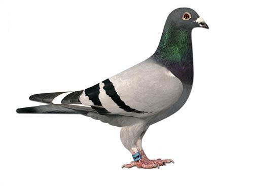 550x367 > Pigeon Wallpapers