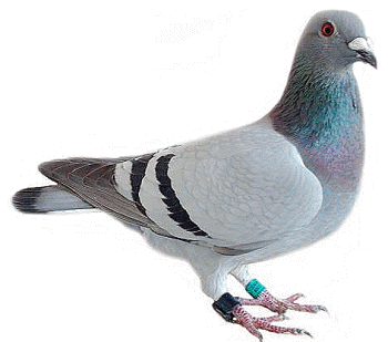 HD Quality Wallpaper | Collection: Animal, 350x309 Pigeon