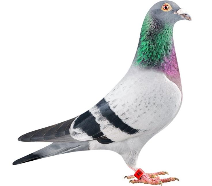Pigeon Backgrounds, Compatible - PC, Mobile, Gadgets| 736x646 px