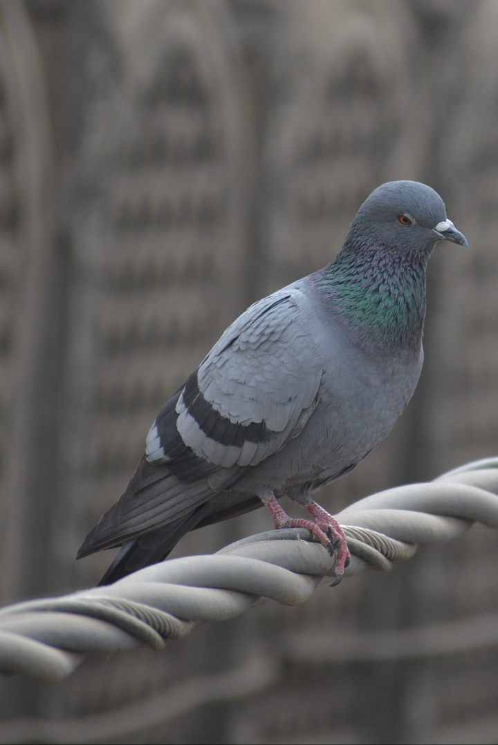 Amazing Pigeon Pictures & Backgrounds