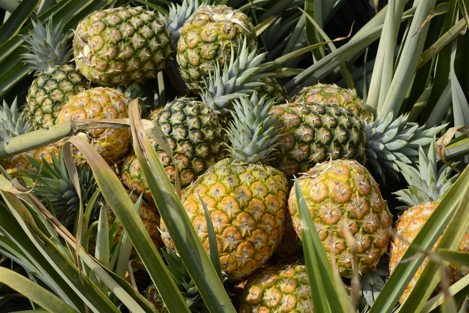 HD Quality Wallpaper | Collection: Food, 1499x1000 Pineapple