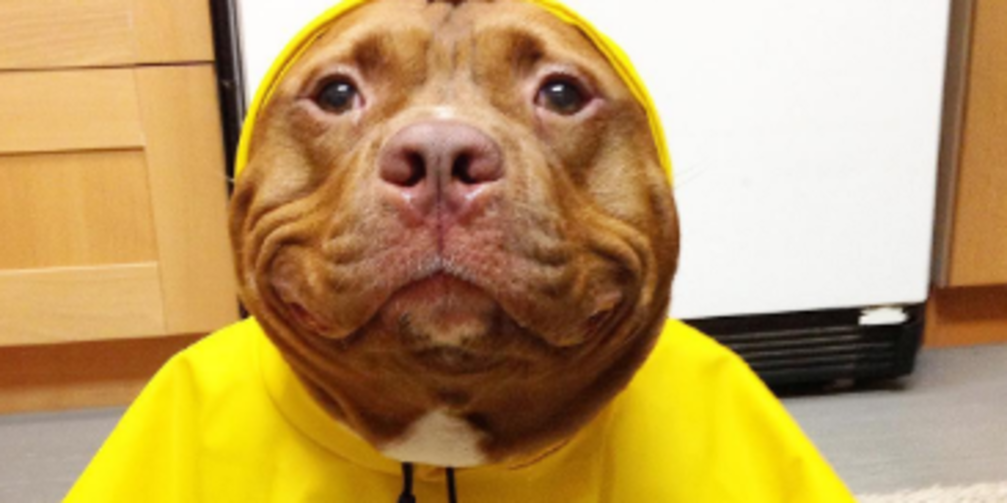 Nice wallpapers Pit Bull 2000x1000px