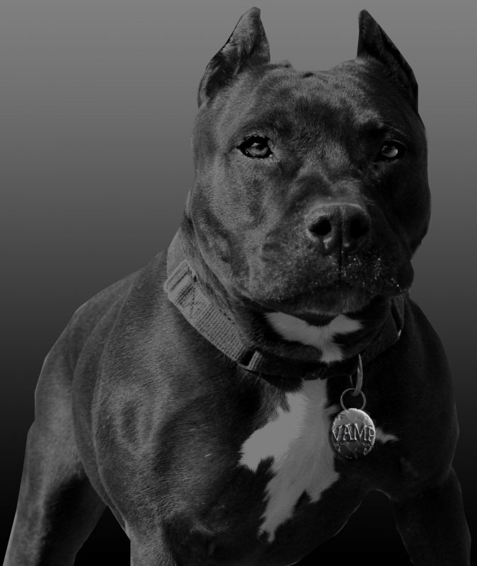 674x800 > Pit Bull Wallpapers