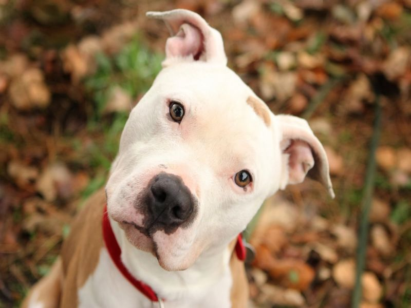 Pit Bull Pics, Animal Collection