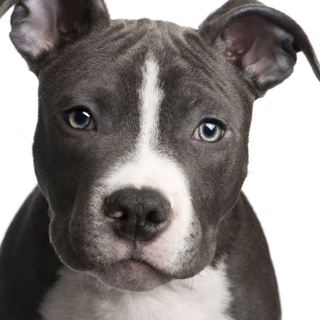 HD Quality Wallpaper | Collection: Animal, 640x640 Pit Bull