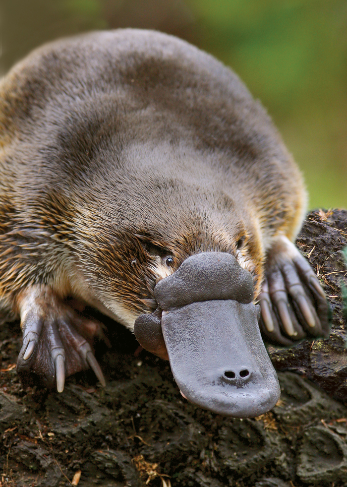 Nice Images Collection: Platypus Desktop Wallpapers