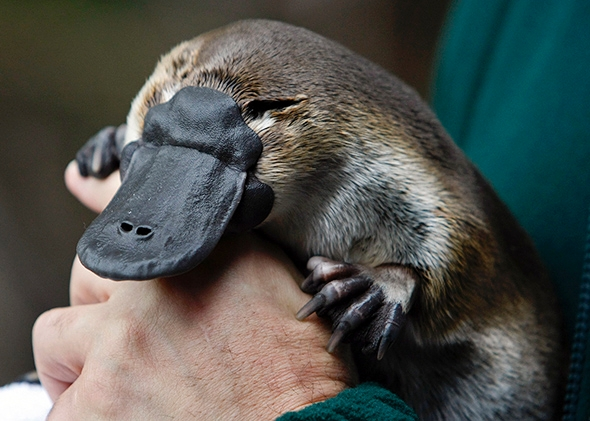 Platypus Backgrounds on Wallpapers Vista