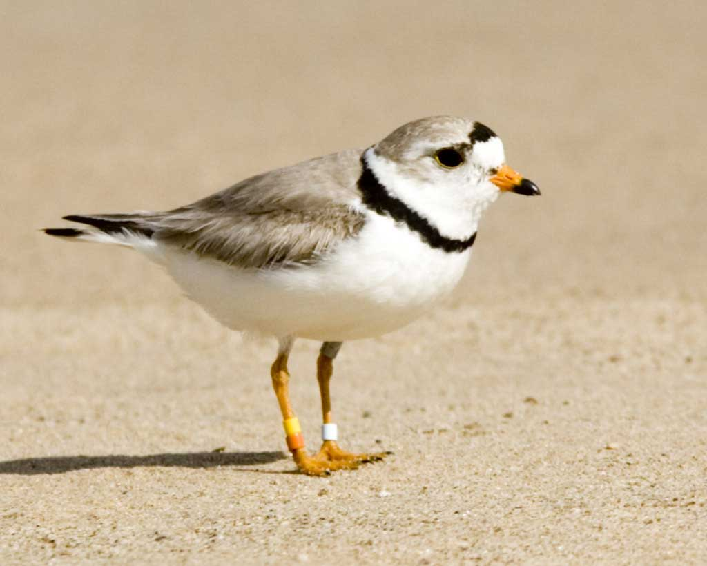 Plover HD wallpapers, Desktop wallpaper - most viewed