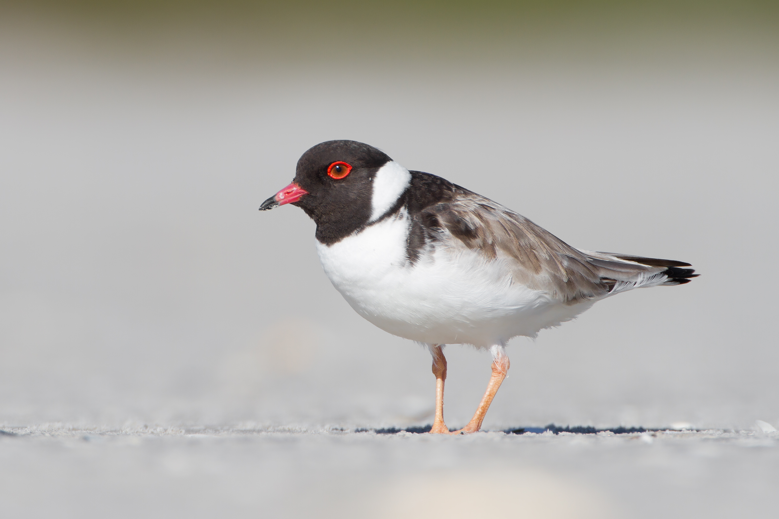 HD Quality Wallpaper | Collection: Animal, 2500x1667 Plover