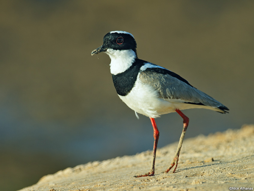 HD Quality Wallpaper | Collection: Animal, 848x640 Plover